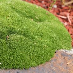 Scleranthus biflorus, Clumping Australian native, although not actually a grass, it grows in attractive mounds of what looks like a bright green moss. Foliage stays green all year round. Ideal as a ground cover, as it will creep over logs and grow well on steep banks. Perfect for rockeries...