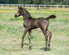 Adorable Arabian foal
