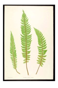 Inch Print (other products available) - Polystichum aculeatum lobatum. The common prickly shield fern, Bradbury, Henry Riley (Illustrator), ferns of Great Britain and Ireland - Image supplied by Liszt Collection - print made in the UK Vintage Botanical Prints, Botanical Wall Art, Botanical Drawings, Vintage Prints, Nature Illustration, Botanical Illustration, Blatt Tattoos, Wall Art Prints, Fine Art Prints