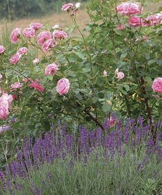 Fragrant flowers add another dimension to a garden and give reason to pause. This is a classic fragrant pairing of an old garden rose (Rosa 'Comte de Chambord' and lavender (Lavandula angustifolia 'Munstead').