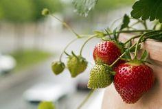 22 meilleures images du tableau red currant en 2013 fruits et l gumes groseilles et cerises