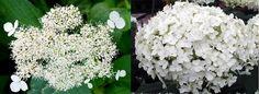 Smooth Hydrangea, Hydrangea Care, Pink Hydrangea, Hydrangea Arborescens Annabelle, Annabelle Hydrangea, Colorful Flowers, Beautiful Flowers, Partial Shade Flowers, Incrediball Hydrangea