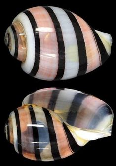 Hydatina amplustre - 18 mm, Marquesas Isl. Spirals In Nature, Hawaiian Art, Shell Collection, Snail Shell, Dragonfly Art, Seashell Crafts, Rock Crafts, Rocks And Minerals, Marine Life