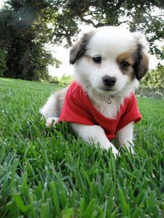 I NEED ONE OF THESE!!! Blue Merle Cavi. Toy aussie and