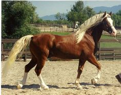 Tuscani Aramis*, Section D Welsh Cob Stallion. A chestnut sabino, his mane and tail are such a pale flaxen, he looks like a dark palomino. Most Beautiful Animals, Beautiful Horses, Welsh Pony, Majestic Horse, All The Pretty Horses, Draft Horses, Horse Breeds, Pony Breeds, Horse Pictures