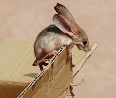 jerboa - I have never before seen this critter.  Looks like a cross between a rabbit and a rat!