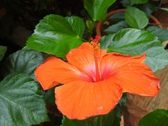 Home Garden. Live Plants, Pune, Hibiscus, Beautiful Flowers, Home And Garden, Gardening, India, China, Food