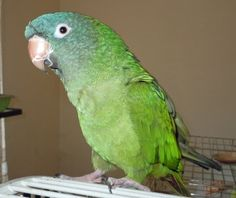 Rosie, Our Conure photo by Joy Rosner