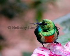 Hummingbird caught in a solitary moment of stillness. Beautiful color, beautiful birds.  www.bethanylinnphotography.com