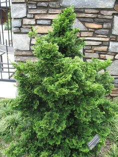 Dwarf Hinoki Cypress (Chamaecyparis obtusa nana 'Gracilis') - an outstanding, scupltural accent for the small garden. Slow growing to H x W. Garden Nursery, Plant Nursery, Growing Grapes, Growing Tree, Grapevine Growing, Hinoki Cypress, Evergreen Garden, Coastal Landscaping, Conifer Trees