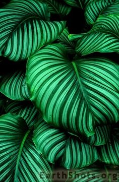"A very tropical looking hosta-looking thing.. Love it. Most beautiful leaves I've seen! Want them in my future fantasy garden. Lots of them. From the mouth of various commentors : it is NOT a hosta! ""It's actually a tropical prayer plant- calathea orbigolia- found in the jungles of places like Bolvia"" (quote: Michael N Jean Teague) - Thank you guys :)"