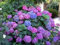 Hydrangeas are popular garden shrubs with delicate heads of flowers in ...mycottagegardens.com