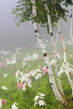 Birch trees in a field of lilies, surrounded by a slight fog