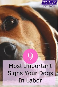 It is important to keep a close eye on your pregnant dog as her time for delivery approaches. While you can roughly time it with the gestation guide of 63 days, being able to recognize when her labor begins by using these 9 signs will make the process much simpler. Dog Dental Care, Dog Care, Signs Of Delivery, Dog Labor, Signs Of Labour, Pregnant Dog, Feeling Nauseous, Dog Signs