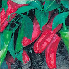 "Marconi. Sweet. Prolific Italian heirloom prized for its gigantic sweet red fruits. Delicious 12"" long peppers are excellent eaten fresh or fried."