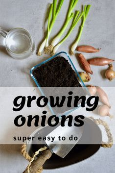 A super simple How-To for growing spring onions at home from food scraps, to re-use numerous times! Two methods that can both be done indoors, with little space and mess and no onion seeds necessary! Growing Vegetables, Fruits And Veggies, What Foods Have Carbohydrates, Growing Spring Onions, Types Of Onions, Mushroom Grow Kit, Fruit Creations, Aromatic Herbs, How To Grow Taller