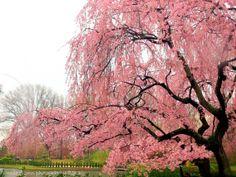 Japanese Cherry Tree by annie flynn