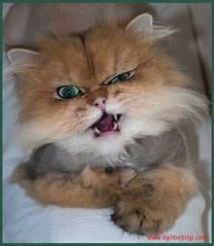 Arslan Yürekli Kediler (Lionhearted Cats)