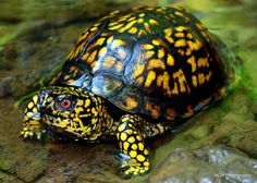 Eastern Box Turtle I used to keep these as pets! they love pizza and spaghetti!