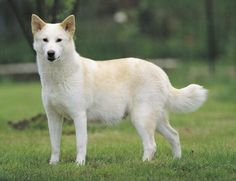 The Canaan Dog Breed excels at many tasks, and you will start to see this almost immediately from your Canaan puppy. Dog Breeds Pictures, Animal Pictures, Canaan Dog, Funny Animals, Cute Animals, Dog Diet, Dog Barking, Beautiful Dogs, Doge