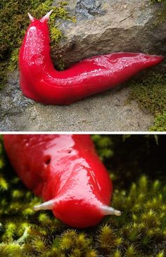 The #Red Slug of the Mount #Kaputa