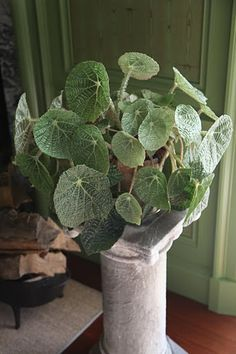 Begonia on a marble pedestal. Love the broad leaves and intricate veins. Lovely for adding neutral color/texture to your decor. Begonia, Normal House, Martha Stewart Blog, Plants Delivered, Snake Plant, House And Home Magazine, Pedestal, Neutral Colors, Houseplants
