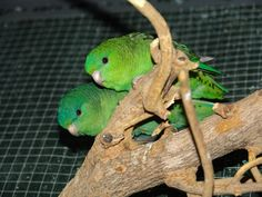 Coppia di pappagallini barrati ancestrali - Barred parakeet - Bolborhynchus lineola Parrot, Animals, Parrots, Birds, Parrot Bird, Animales, Animaux, Animal, Animais
