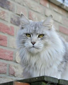 """She is a beautiful Maine Coon! """"Indi""""- Shedoros IndiaHopea. Shedoros Maine Coon cattery in Germany."""