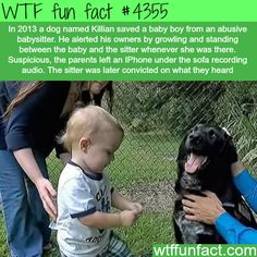 Dog saves baby boy from his abusive babysitter -  WTF fun facts