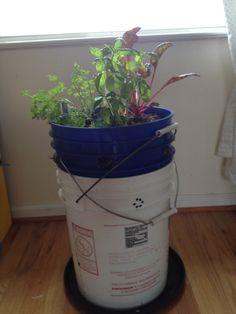 Grow bucket planter link to link: http://www.globalbuckets.org/