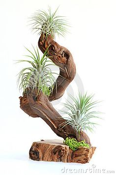 Fabulous Air Plants Decor Ideas 38 image is part of 70 Fabulous Air Plants Decor Ideas that you Never Seen Before gallery, you can read and see another amazing image 70 Fabulous Air Plants Decor Ideas that you Never Seen Before on website Air Plant Terrarium, Garden Terrarium, Hanging Air Plants, Indoor Plants, Indoor Gardening, Plant Art, Plant Decor, Driftwood Planters, Air Plants Care