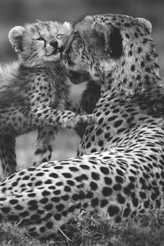 Cheetah Love - #wildlife #cheetah #love #nature #earthlynation. #animals #big cat