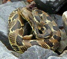 timber rattlesnake - Google Search