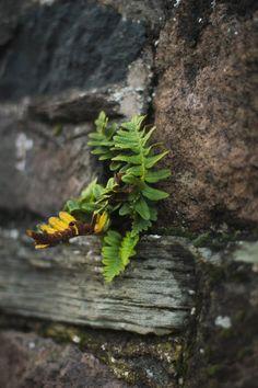 fern  (of the polypody sort)