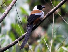 collared-treepie - Yahoo! Search Results