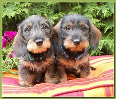 Dachshunds Wirehaired Puppies