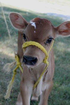 57 Teeny Baby Animals That You Will Love! - Show - tierbabys Cute Baby Cow, Baby Cows, Cute Cows, Cute Funny Animals, Cute Baby Animals, Animals And Pets, Baby Elephants, Wild Animals, Fluffy Cows