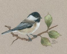 Chickadee on a branch rendered in colored pencil.