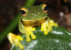 Orange-thighed frog - Wikipedia, the free encyclopedia