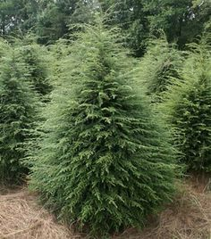 NH: NEED THIS! Canadian Hemlock is an upright pyramidal shaped tree with drooping branches. It can grow ft in 10 years. Soft dark green needles remain all year. Garden Shrubs, Shade Garden, Garden Plants, Evergreen Landscape, Evergreen Garden, Evergreen Trees Landscaping, Evergreen Trees For Privacy, Types Of Evergreen Trees, Evergreen Shrubs