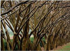 Crepe Myrtle in winter - sculptural trunks