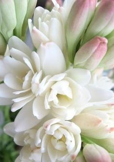 Tuberose, a gorgeous small delicate cream bloom with a lovely scent.