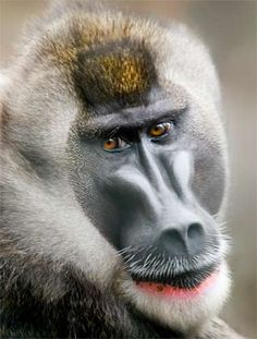 """DrillThe Drill is an endangered primate. In the equatorial region of Africa the drill is known as """"bushmeat"""" and eaten. Their habitat has also been largely destroyed. Drills move on the ground and in the lower levels oftreesand eat mostly fruit."""