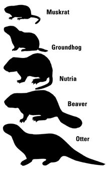 Thunder Bay Cab >> 81 Best Nutria images   Otters, Rodents, Rats