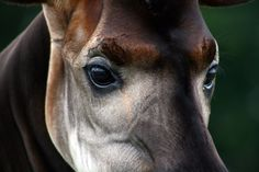 okapi_eyes_by_duskmagpie-d4999zf.png (900×600)