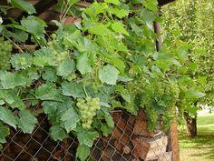 Letos máme krásné víno... Plants, Plant, Planets