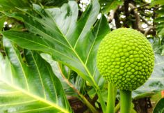 "Farm to table: have you ever tried ""ulu"" or breadfruit? It's a Hawaiian staple with a consistency similar to a baked potato, and can be made in a variety of delicious ways."