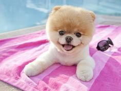 This is Boo....I would so love to have this pomeranian but I am gonna go with a LARGE dog
