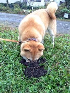 小麦ちゃん digging?