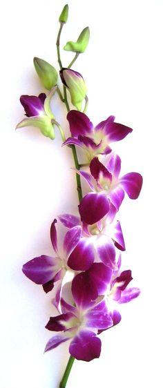 Fresh Flowers - Purple Dendrobium Orchids  http://www.amazon.com/gp/product/B003IMSFI6/ref=as_li_ss_tl?ie=UTF8=1789=390957=B003IMSFI6=as2=contenton-20